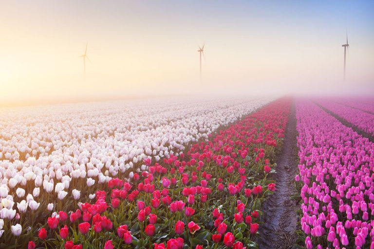 Tulips growing in the fields