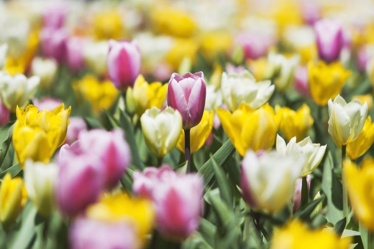 close up view of fresh tulips in season