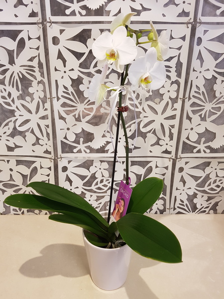 Testimonial for Phalaenopsis Orchid - Moth Orchid Plant
