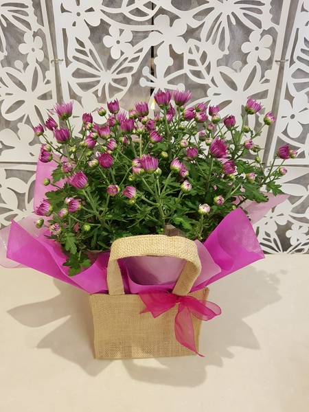 Testimonial for Gift Wrapped Chrysanthemum Plant