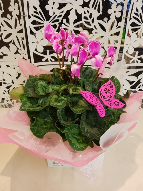 Testimonial for Cyclamen Plant with Keepsake Butterfly