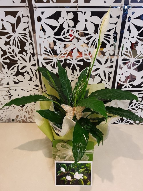 Testimonial Photo for Peace Lily Plant with Butterfly