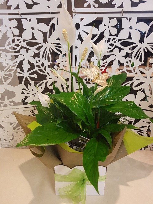 Testimonial for Peace Lily Plant with Butterfly