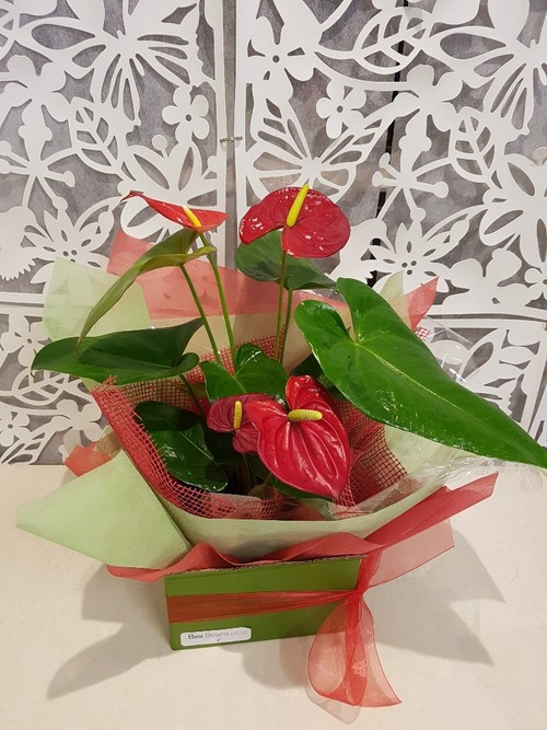 Testimonial Photo for Heart-Shaped Flowers -Tropical Anthurium Plant