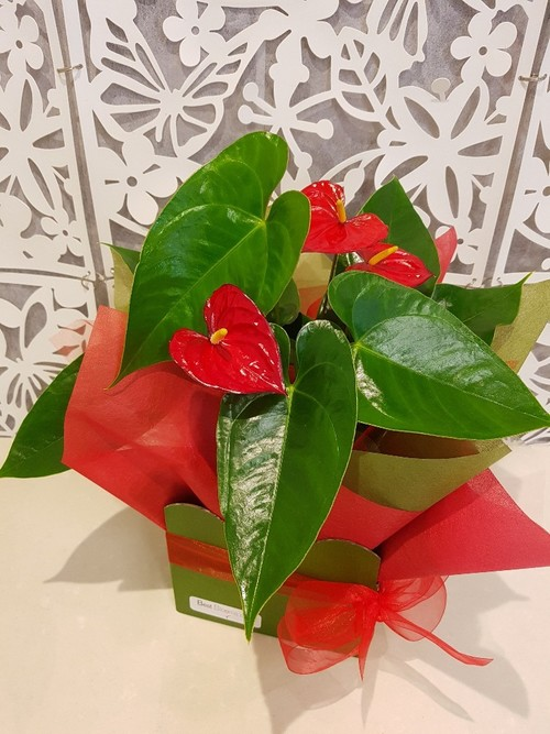 Testimonial for Heart-Shaped Flowers -Tropical Anthurium Plant