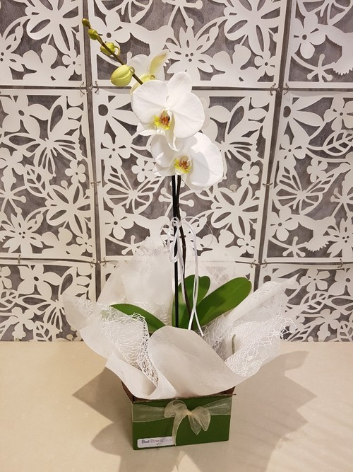 Testimonial Photo for Phalaenopsis Orchid - Moth Orchid Plant