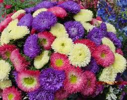 Birth flower for September is Asters