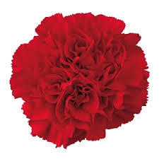 Carnation januarys birth flower shown here in red - garnet colour.