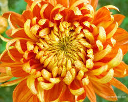 Chrysanthemum is the birth flower for the month of November