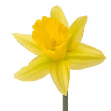Daffodil or Narcissus is March birthflower