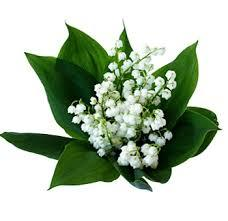 Lily of the Valley birthflower for May Northern Hemisphere