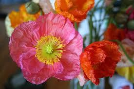 Poppies traditional birth flower for the month of August