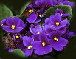 Violet is Februarys birth flower